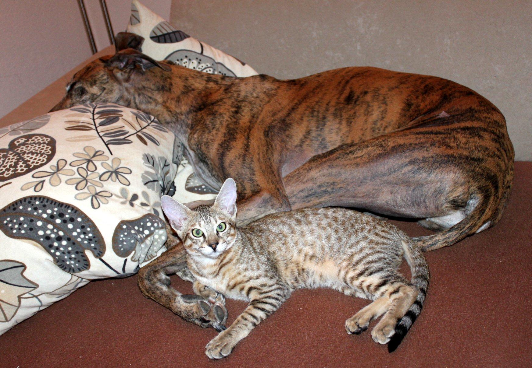 Haltung Savannah Shetani Zuchtkatzen