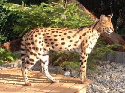 Serval Savannah Shetani Zuchtkatzen
