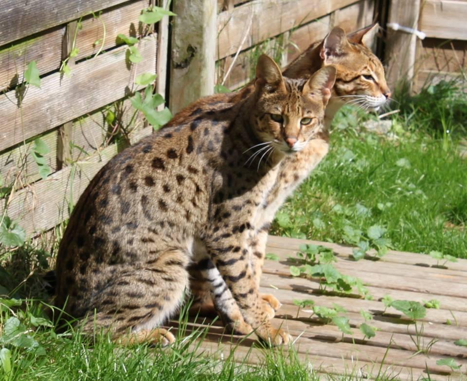 Rassebeschreibung Savannah Shetani Zuchtkatzen